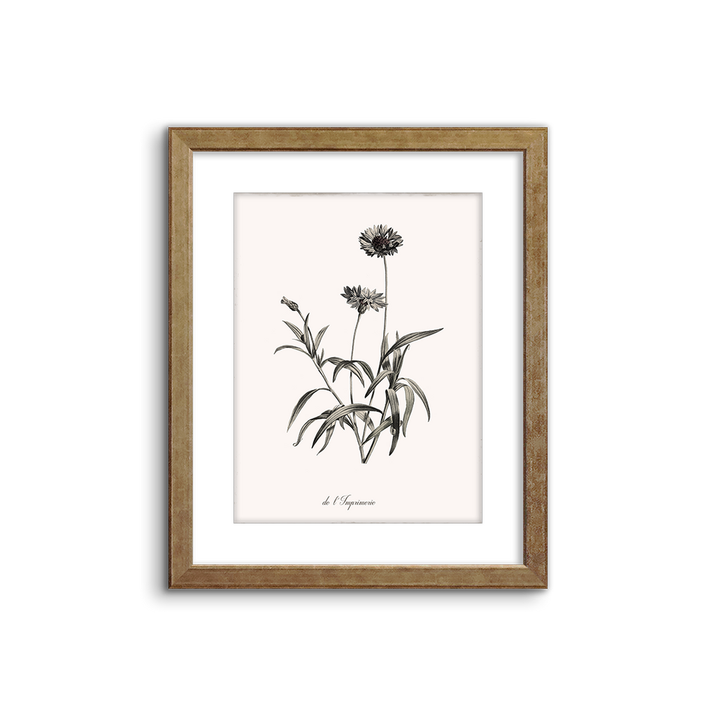 botanical illustration ~ cornflower