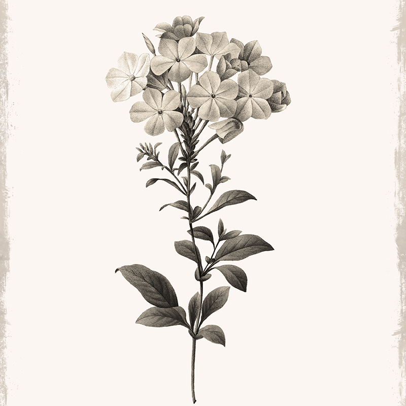 botanical illustration ~ plumbago