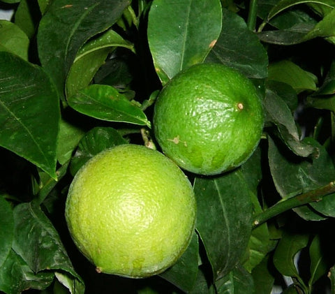 Bergamot tree with hanging fruit
