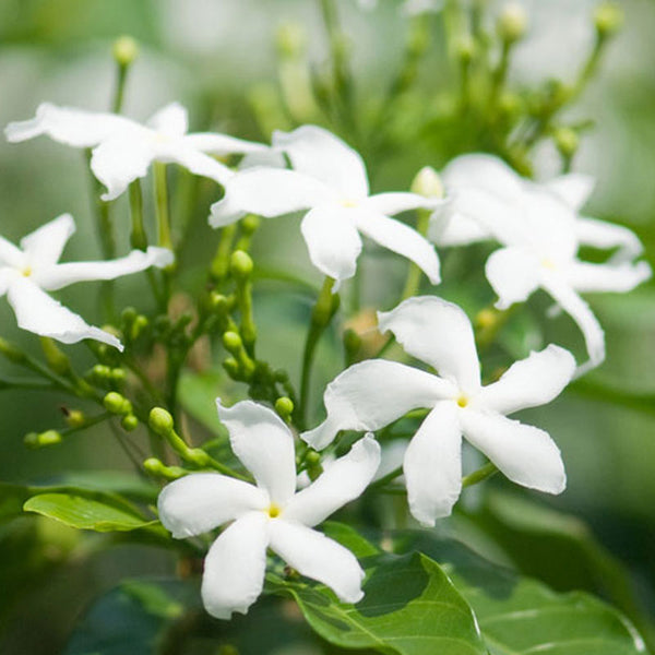 Jasmine flowers used to make essential oil for Ciel d'Opale copycat fragrances by Match Perfumes