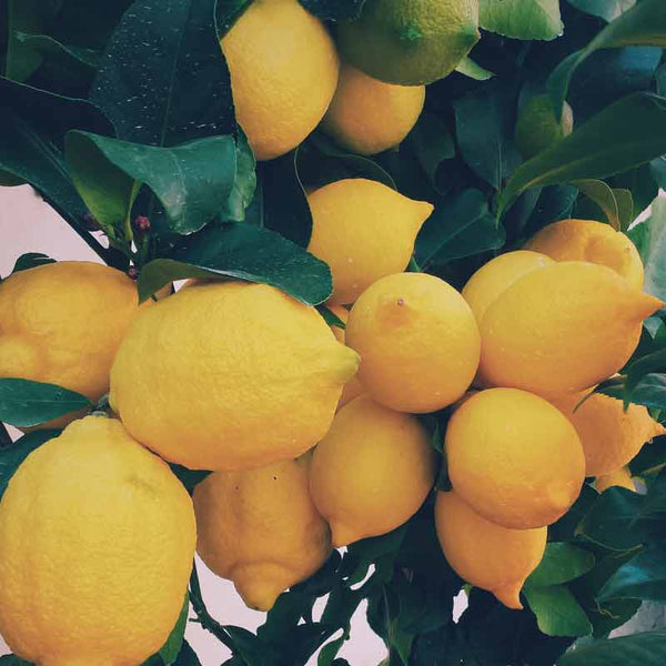 Lemons used to make essential oils for Neroli Portofino copycat fragrances by Match Perfumes