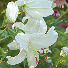 Lily flowers used to make essential oils for Cierge de Lune copycat fragrances by Match Perfumes