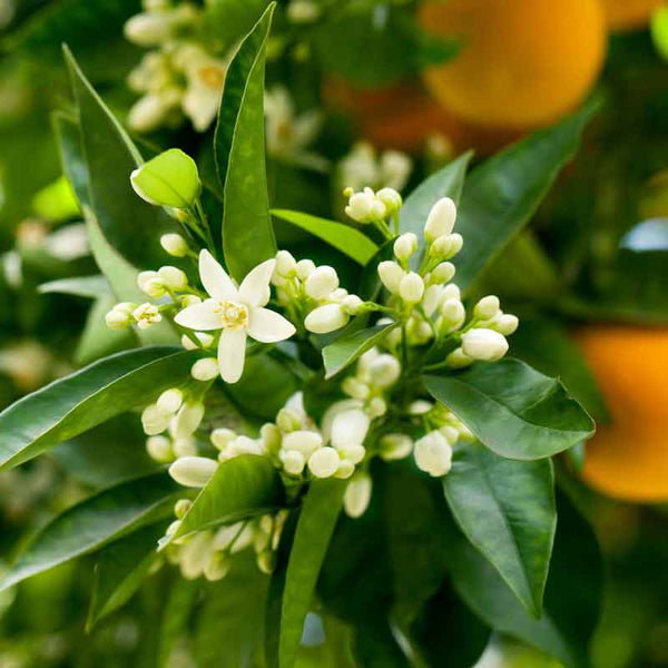 Neroli orange flowers used to make essential oils for Neroli Portofino copycat fragrances by Match Perfumes