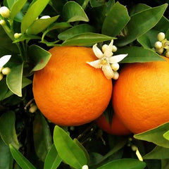 Orange Blossom used to make essential oils in Bergamot 22 copycat fragrances by Match Perfumes