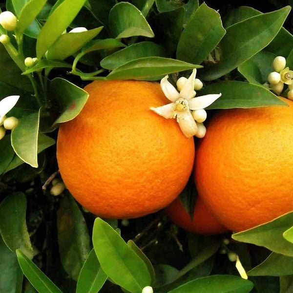 Orange blossom used to make essential oils in Joy copycat fragrances by Match Perfumes