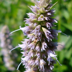 Patchouli flower used to make essential oils for Aventus copycat fragrances by Match Perfumes
