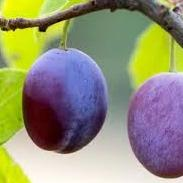 Plum fruits used to make essential oils for Lost Cherry copycat fragrances by Match Perfumes