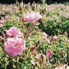 Roses used to make essential oils in Joy copycat fragrances by Match Perfumes