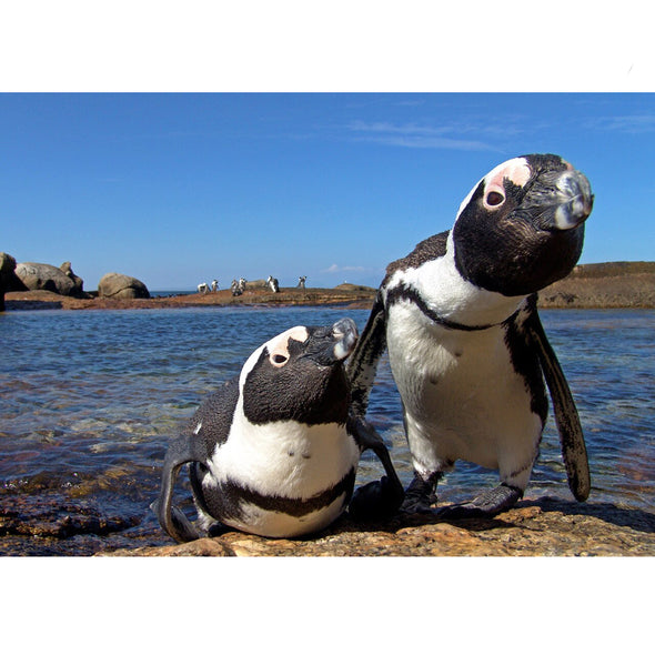 African Penguins - 3D Lenticular Postcard Greeting Card