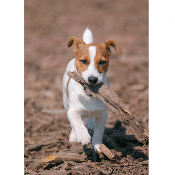 Jack Russell - 3D Lenticular Postcard Greeting Card