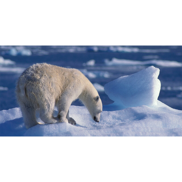 Polar Bear - 3D Lenticular Postcard Greeting Card - Oversize