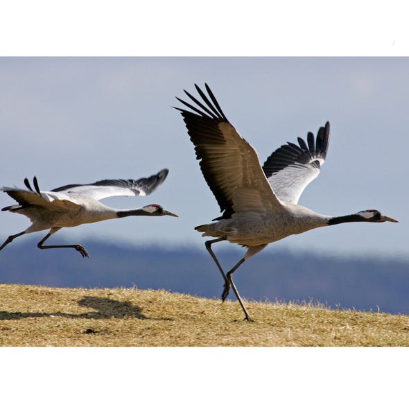 Common Cranes - 3D Lenticular Postcard Greeting Card