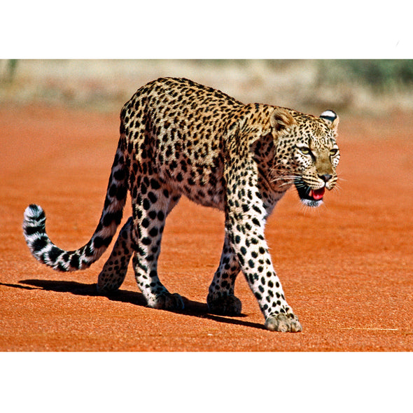 Leopard - 3D Lenticular Postcard Greeting Card
