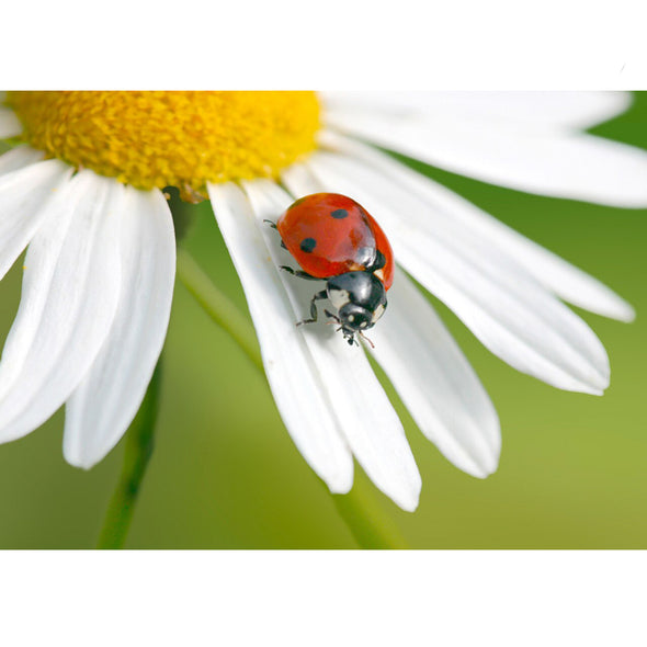 Ladybug on Daisy - 3D Lenticular Postcard Greeting Card