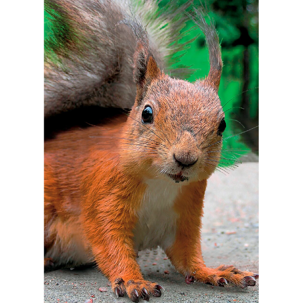 Red Squirrel - 3D Lenticular Postcard Greeting Card