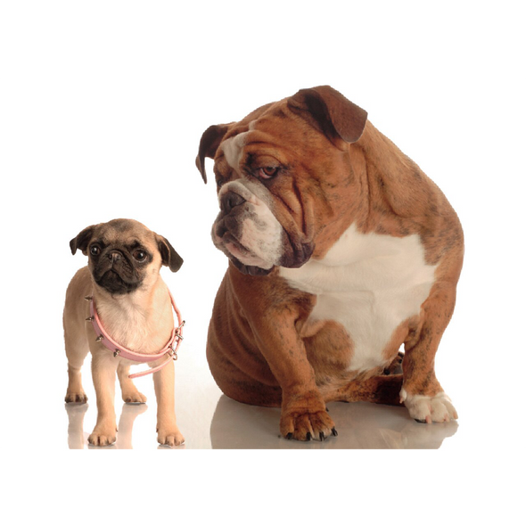 Bulldog and Pug Puppy - 3D Lenticular Postcard Greeting Card