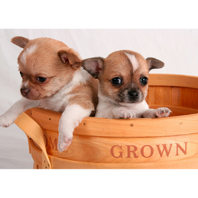 Chihuahua Pups - 3D Lenticular Postcard Greeting Card