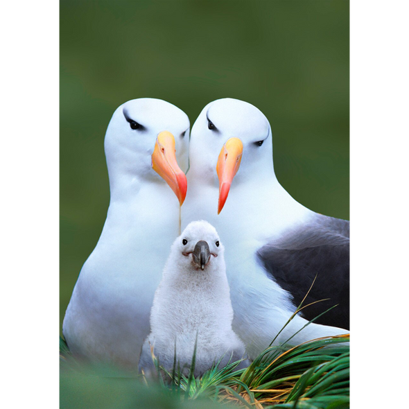 Albatross - 3D Lenticular Postcard Greeting Card