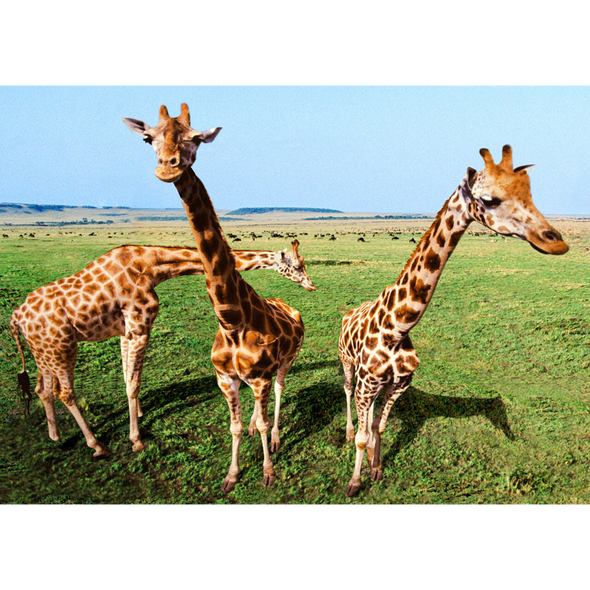 Inquisitive Giraffes - 3D Lenticular Postcard Greeting Card