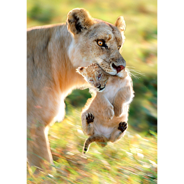Lioness - 3D Lenticular Postcard Greeting Card