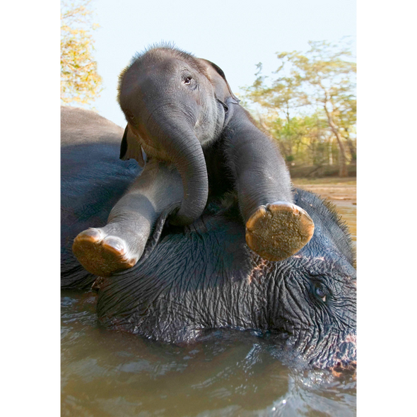 Asian Elephant and calf bathing - 3D Lenticular Postcard Greeting Card