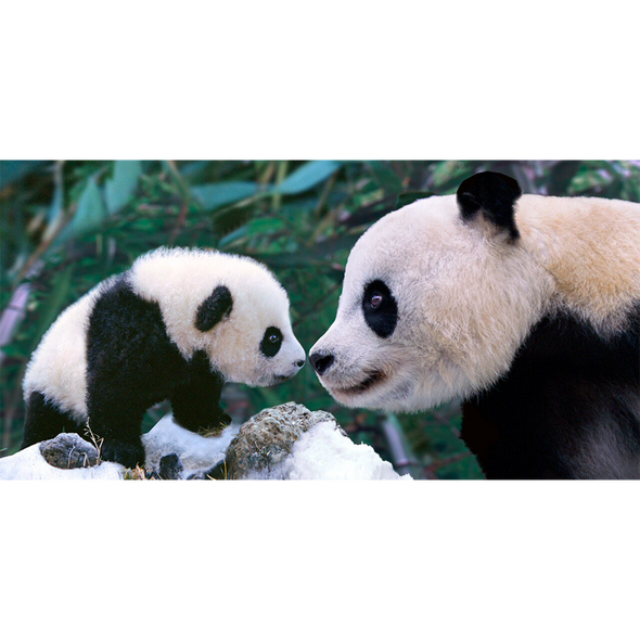 Panda mother nose to nose with cub - 3D Lenticular Postcard Greeting Card - Oversize