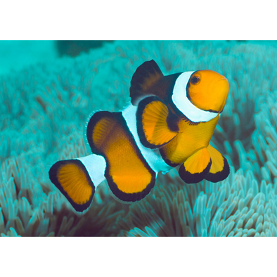 Clown Fish - 3D Lenticular Postcard Greeting Card