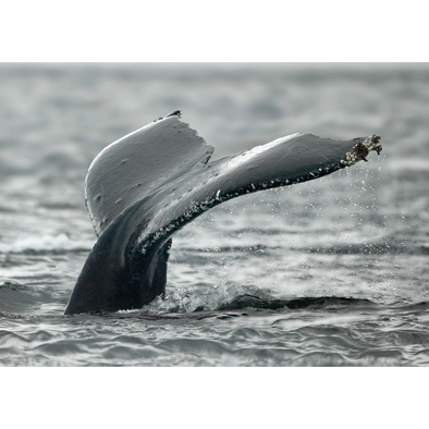 Fluke of a Humpback Whale - 3D Lenticular Postcard Greeting Card