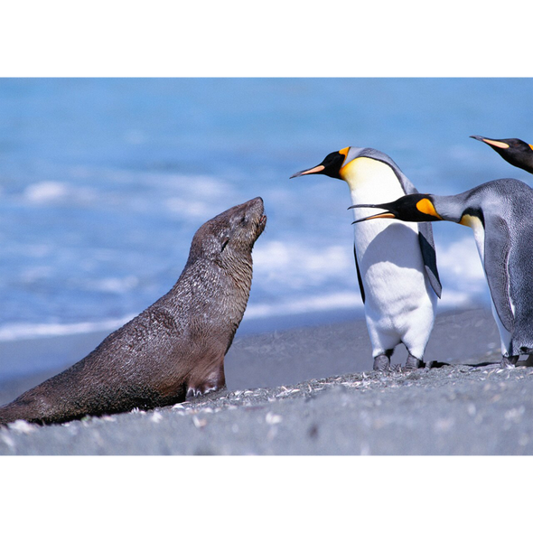 Marine Animal Postcard - King Penguins and Fur Seal