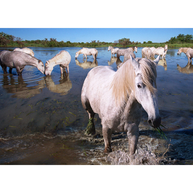 Camargue horses - France - 3D Lenticular Postcard Greeting Card