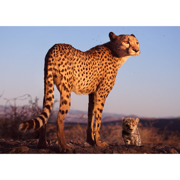 animals postcard - Cheetah Mother and Cub