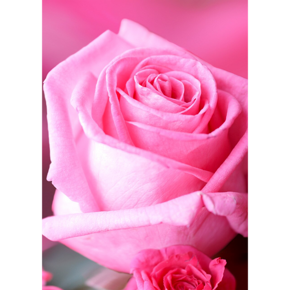 Rose - Pink Blossom - 3D Lenticular Postcard Greeting Card