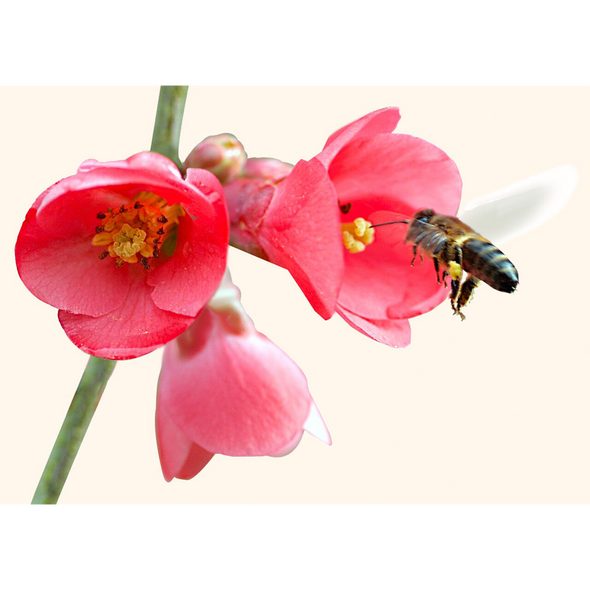 Bee Collecting Nectar - 3D Lenticular Postcard Greeting Card