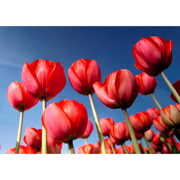 Tulips - 3D Lenticular Postcard Greeting Card