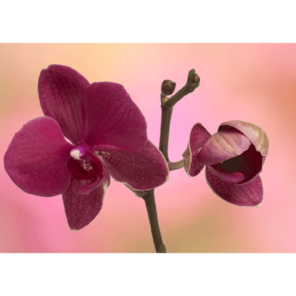 Orchids - 3D Action Lenticular Postcard Greeting Card