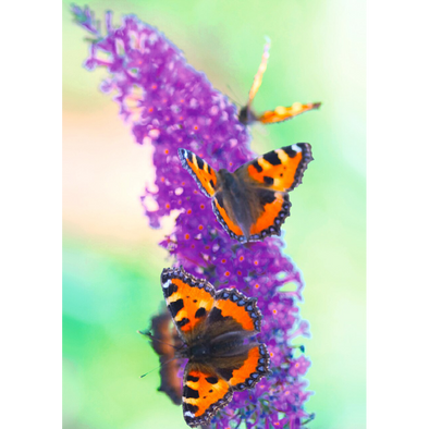 Flowers Postcard - Butterfly on Lilac