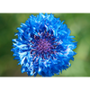 Cornflower - 3D Action Lenticular Postcard Greeting Card