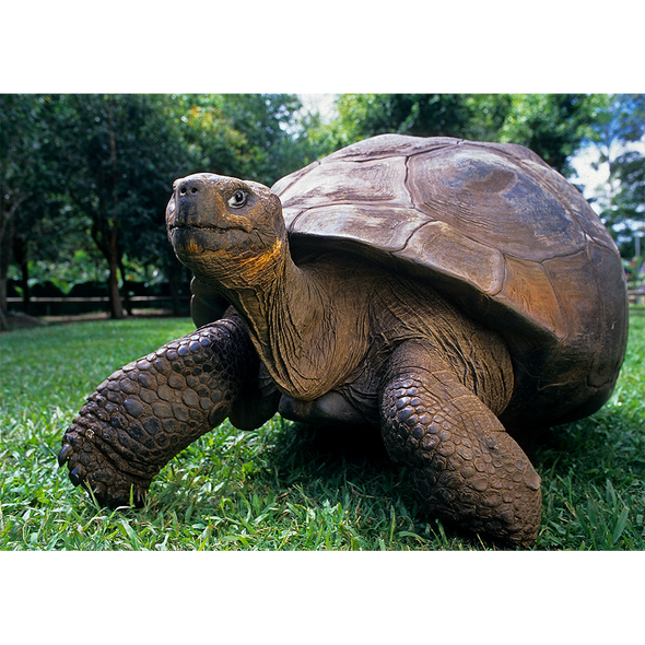 Giant Galapagos Tortoise - 3D Lenticular Postcard Greeting Card