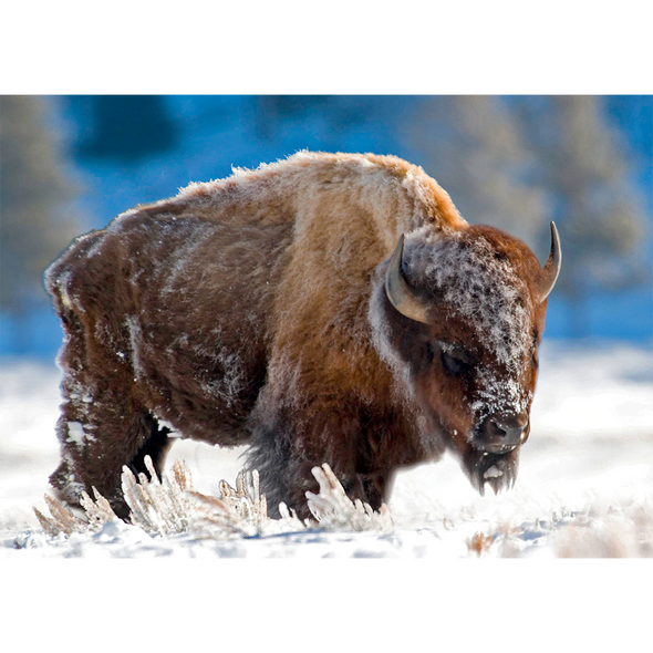 American Bison in Snow - 3D Lenticular Postcard Greeting Card