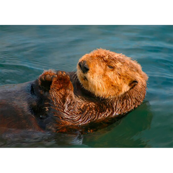 Sea Otter - 3D Lenticular Postcard Greeting Card