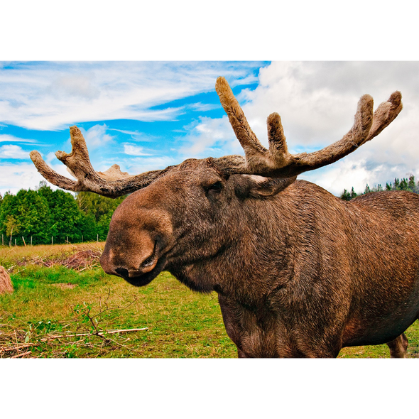 Moose - 3D Lenticular Postcard Greeting Card