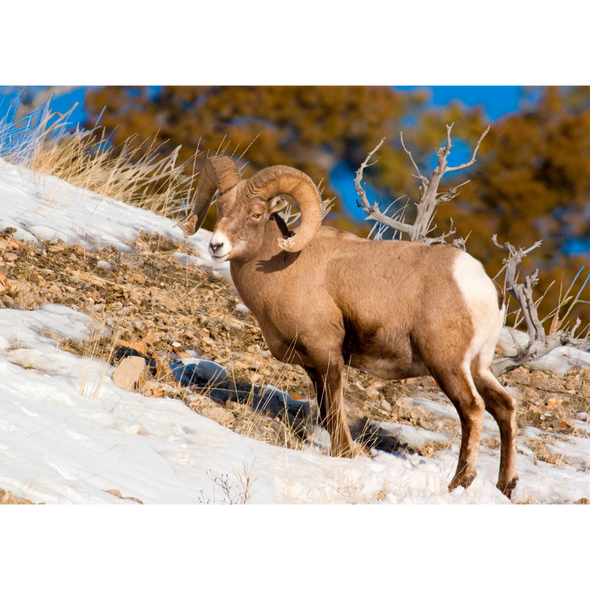 Bighorn Sheep - 3D Lenticular Postcard Greeting Card