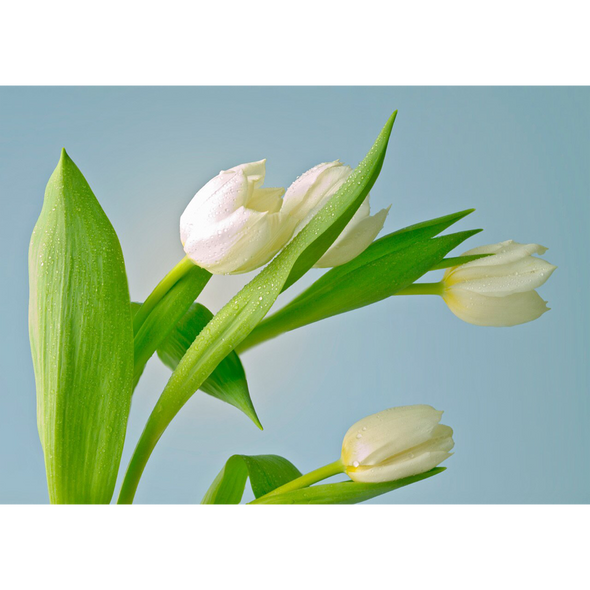 White Tulips - 3D Lenticular Postcard Greeting Card