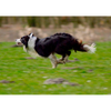 Border Collie Running - 3D Action Lenticular Postcard Greeting Card