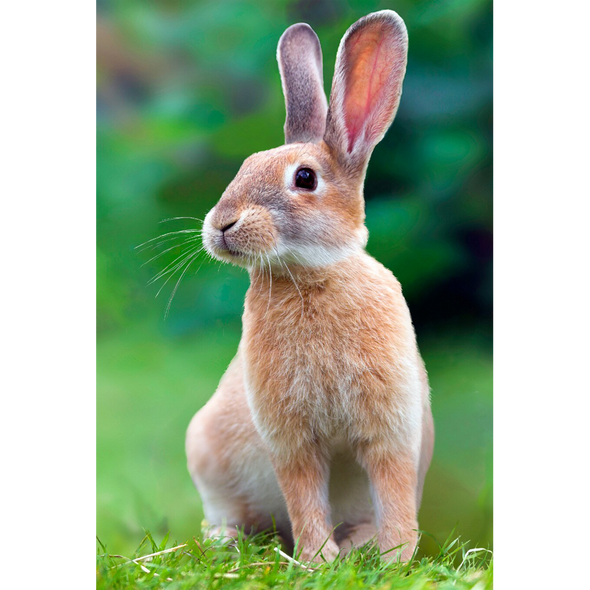 Rabbit Listening - 3D Lenticular Postcard Greeting Card