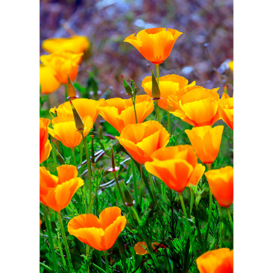 California Poppies - 3D Lenticular Postcard Greeting Card