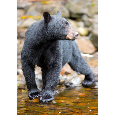 American Black Bear - 3D Lenticular Postcard Greeting Card