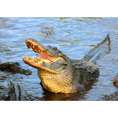American Alligator - 3D Lenticular Postcard Greeting Card