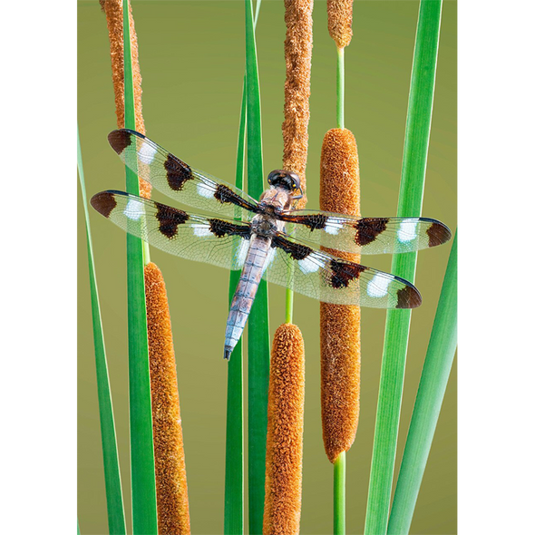 Twelve-spotted Dragonfly - 3D Lenticular Postcard Greeting Card