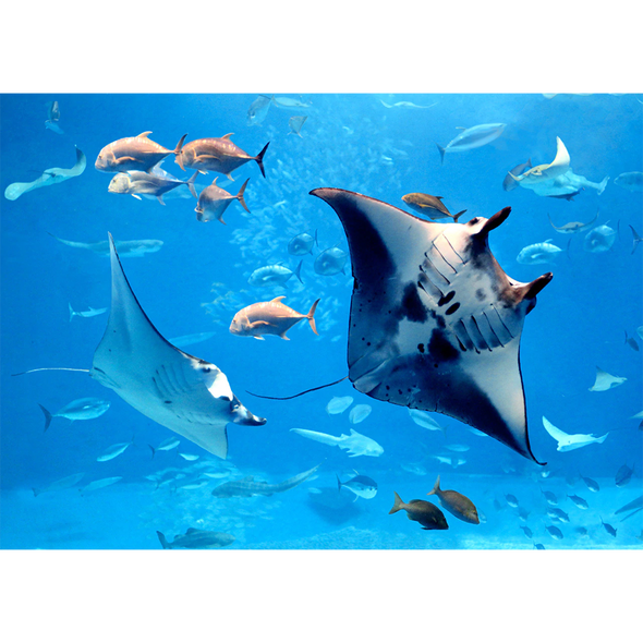 Manta Rays and Tropical Fish - 3D Lenticular Postcard Greeting Card